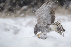Goshawk in the wild. Goshawk stripping the flesh from a dead boar during a heavy snow shower Royalty Free Stock Photos