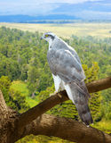Goshawk  in wildness area. Goshawk on wood trunk in wildness area Royalty Free Stock Images