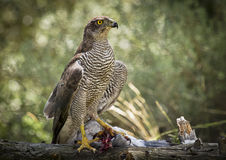 Goshawk. The winged hawk is the most feared hunter in the forest. This time he has captured a pigeon to feed their young Stock Images