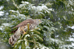 Goshawk in winter forest. Northern Goshawk landing on spruce tree during winter with snow. Wildlife scene from winter nature. Bird Royalty Free Stock Image