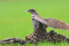 Goshawkjaktfåglar Royaltyfri Bild