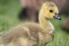Gosling Imágenes de archivo libres de regalías