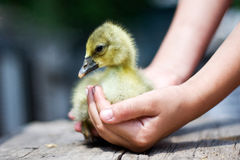 Gosling Royalty Free Stock Photography