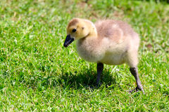 Gosling. Young baby goose close-up picture Royalty Free Stock Photos