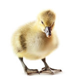 Gosling Royalty Free Stock Photo