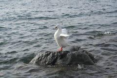 gosling Fotografia de Stock