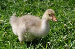 gosling Imagens de Stock