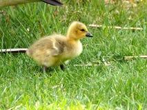 gosling Foto de Stock Royalty Free
