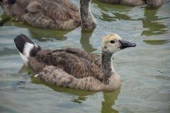 gosling royaltyfri foto