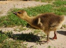 gosling arkivbild