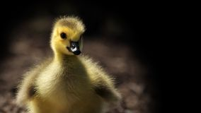 Gosling. Young gosling with black background Stock Image