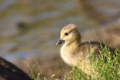 Gosling au lac Image stock