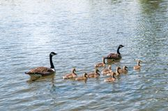 Gosling, baby geese with Parents. Canada Goose, Branta canadensis. Swimming together royalty free stock photography