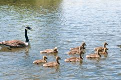 Baby geese with Parents. Canada Goose, Branta canadensi. Gosling, baby geese with Parents. Canada Goose, Branta canadensis royalty free stock photo