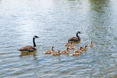 Gosling, baby geese with Parents. Canada Goose, Branta canadensis. Swimming together royalty free stock photo