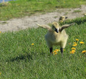 Gosling. Baby gosling stretching its wings Stock Image