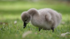 Gosling, Baby, Swan Royalty Free Stock Images