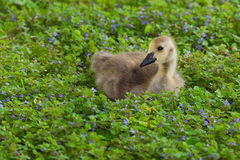 Gosling in a bed of ground ivy. Fluffy gosling sits in a bed of ground ivy, the soft yellow color of the baby goose contrasts well against green and violet color stock photos