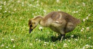 Gosling. Canada goose gosling feeding in meadow or field Stock Image