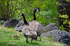 Gosling che cammina con la mamma ed il papà Immagini Stock Libere da Diritti