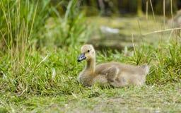 Gosling che riposa nell'erba Immagini Stock