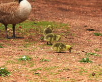 Gosling chicks. Searching for seeds or other food in a park in central Colorado Stock Photography