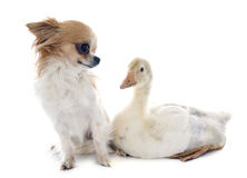 Gosling and chihuahua Royalty Free Stock Images