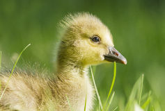 Gosling close up Royalty Free Stock Photography