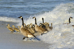Gosling Coming out of the Waves. Waves scare the geese out of the water with the young goslings Stock Images