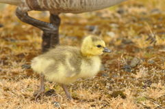Gosling dans l'herbe jaune avec le parent Images libres de droits