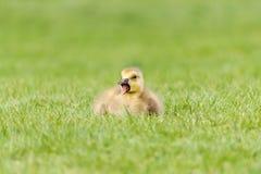 Gosling dans l'herbe - une oie nouveau-née de Canada Images libres de droits