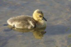Gosling dans le lac Images stock