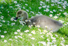 Gosling and dasies Royalty Free Stock Photo
