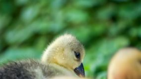 Gosling and duckling in green grass stock footage