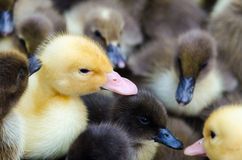 Gosling and ducklings for sale Royalty Free Stock Photos