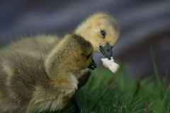 Gosling eating Stock Images