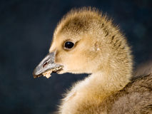 Gosling eating. A cute baby canadian goose (Branta canadensis) eating Stock Images
