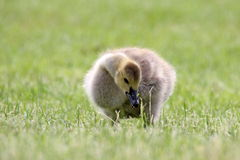 Gosling Eating Grass Royalty Free Stock Photography
