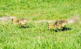Gosling eating grass in open field during reproduction season Royalty Free Stock Photo