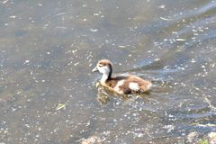 Gosling of an Egyptian Goose Royalty Free Stock Photo
