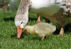 Gosling and goose. Cute yellow gosling with his sebastapol mother goose. Sebabastapol are a breed of goose with long curly feathers on their wings and bodies Stock Photos
