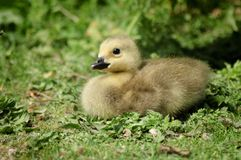 Gosling in Grass Stock Photo