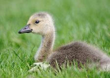 Gosling in the grass Royalty Free Stock Image