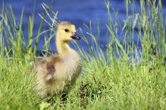 Gosling in the Grass. A little Canada Goose (Branta canadensis) gosling in the grass near the edge of a pond Royalty Free Stock Image