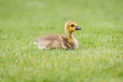 Gosling in the Grass - A newborn Canada Goose. A newborn Canada Goose,  Gosling in the Grass Royalty Free Stock Images