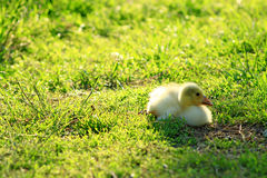 Gosling on the grass Royalty Free Stock Photo