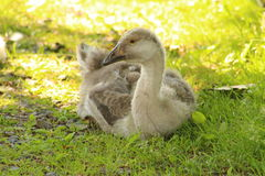 Gosling in the grass Stock Photography