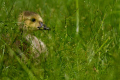 Gosling in the Grass Stock Images