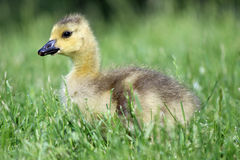 Gosling in the Grass. A young Canada Goose (Branta canadensis) gosling sitting in the grass Royalty Free Stock Photos
