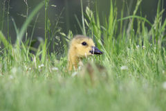 Gosling Hiding in the Grass Royalty Free Stock Photo